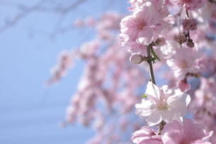 桜 コピースペースの写真素材 [FYI00114329]
