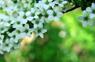 白い花-4の写真素材 [FYI00114368]