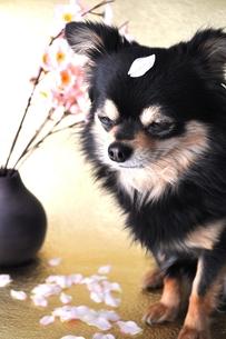 桜とチワワの写真素材 [FYI00114427]
