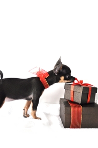 チワワとプレゼントの写真素材 [FYI00114465]