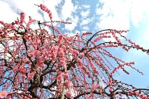 枝垂れ梅の写真素材 [FYI00114482]