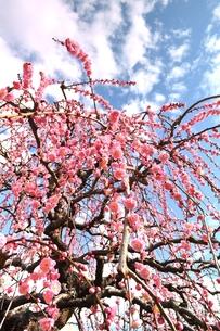 枝垂れ梅の写真素材 [FYI00114503]