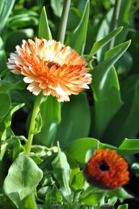 金盞花の写真素材 [FYI00114618]
