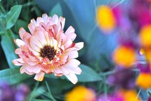 金盞花の写真素材 [FYI00114637]