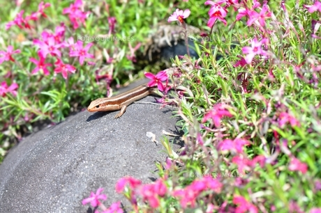 トカゲと芝桜の写真素材 [FYI00114651]