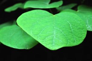 ハート型の葉っぱの写真素材 [FYI00114687]