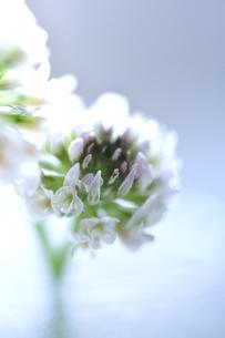 シロツメクサの写真素材 [FYI00114706]