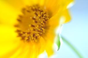 金鶏菊の写真素材 [FYI00114711]