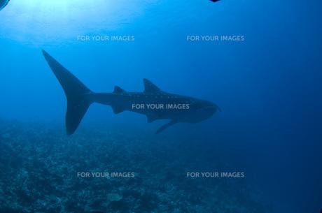 ジンベエザメの後ろ姿の写真素材 [FYI00115018]