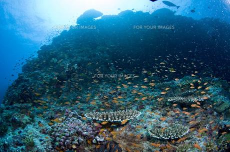 珊瑚礁域の魚の写真素材 [FYI00115020]