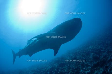 戦艦のようなジンベイザメの写真素材 [FYI00115057]