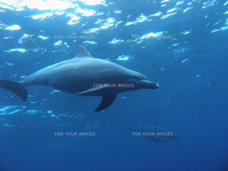 御蔵島のイルカの写真素材 [FYI00115067]