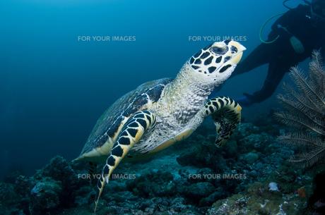 ダイバーとウミガメの写真素材 [FYI00115176]