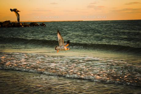 海鳥の羽ばたきの写真素材 [FYI00115344]