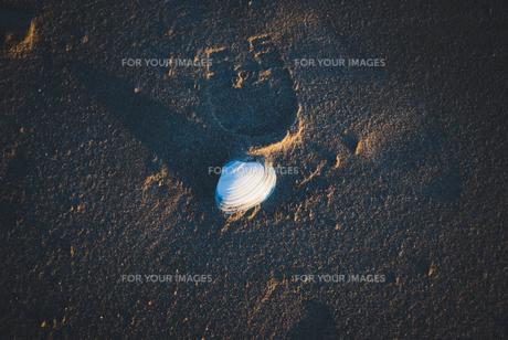 浜辺の貝の素材 [FYI00115352]