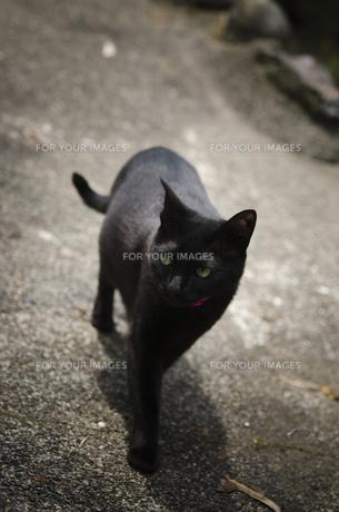 歩く黒猫の写真素材 [FYI00115384]