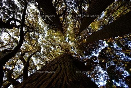 空へ向かう木の写真素材 [FYI00115413]