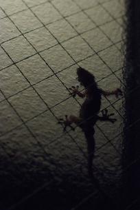 ヤモリのシルエットの写真素材 [FYI00115437]