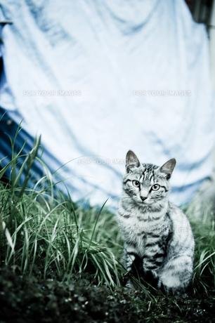 猫1の素材 [FYI00115564]