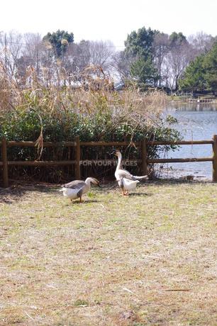公園の鳥の写真素材 [FYI00115622]