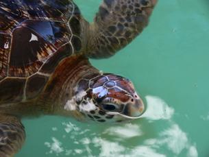 のどかなウミガメの写真素材 [FYI00115635]