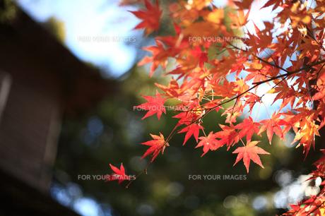 正月の紅葉の写真素材 [FYI00115643]