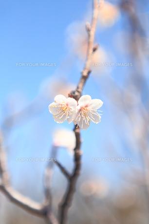 双子の桜の写真素材 [FYI00115657]
