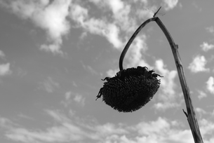ヒマワリの写真素材 [FYI00115721]