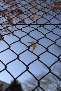 フェンスに引っかかったモミジの写真素材 [FYI00115737]