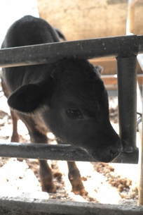 子牛の写真素材 [FYI00115744]