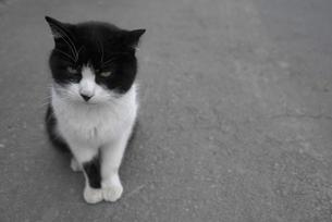 白黒の猫の写真素材 [FYI00115747]