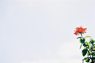 ピンクのバラと空の写真素材 [FYI00115759]