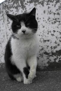 白黒の猫の写真素材 [FYI00115760]