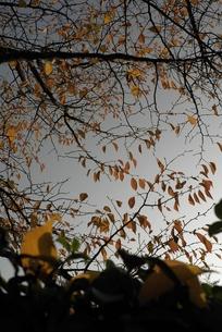 桜の紅葉の写真素材 [FYI00115768]