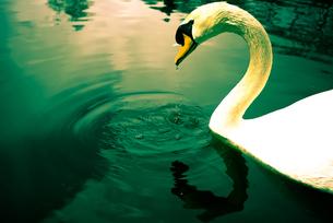 白鳥の写真素材 [FYI00115771]