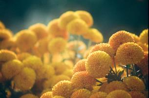 黄色い小菊の写真素材 [FYI00115780]