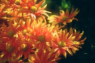 小菊の写真素材 [FYI00115789]