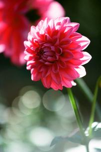 濃いピンクのダリアの写真素材 [FYI00115792]