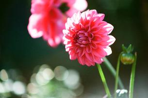 ピンクのダリアの写真素材 [FYI00115793]