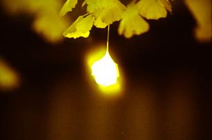 燃える様なイチョウの葉の写真素材 [FYI00115795]