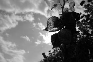 ホオズキの写真素材 [FYI00115797]