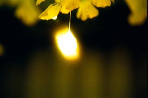 光るイチョウの葉の写真素材 [FYI00115798]