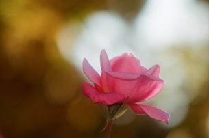 ピンク色のバラの写真素材 [FYI00115799]