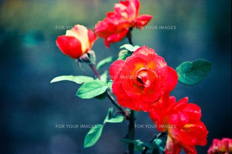 赤いバラの素材 [FYI00115802]
