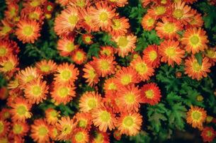 オレンジの小菊の写真素材 [FYI00115804]