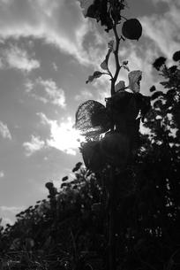 ホオズキの写真素材 [FYI00115807]
