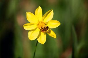 黄色い花とミツバチの写真素材 [FYI00115808]
