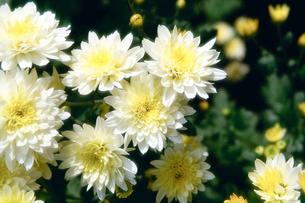 白い小菊の写真素材 [FYI00115810]