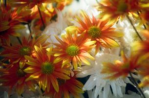 白とオレンジの小菊の写真素材 [FYI00115811]