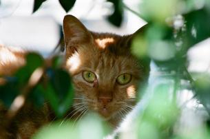茶色い猫の写真素材 [FYI00115813]
